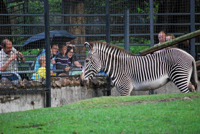 莫斯科在篱芭的动物园费用和看看斑马露天笼子人 免版税库存照片