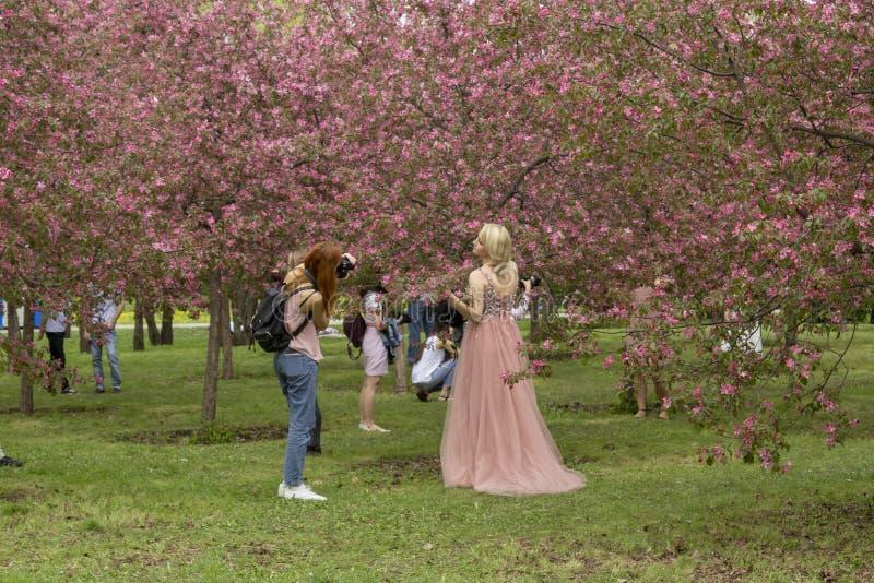 莫斯科,俄罗斯–2019年5月15日:摄影师在开花的苹果树为一个女孩照相 免版税图库摄影