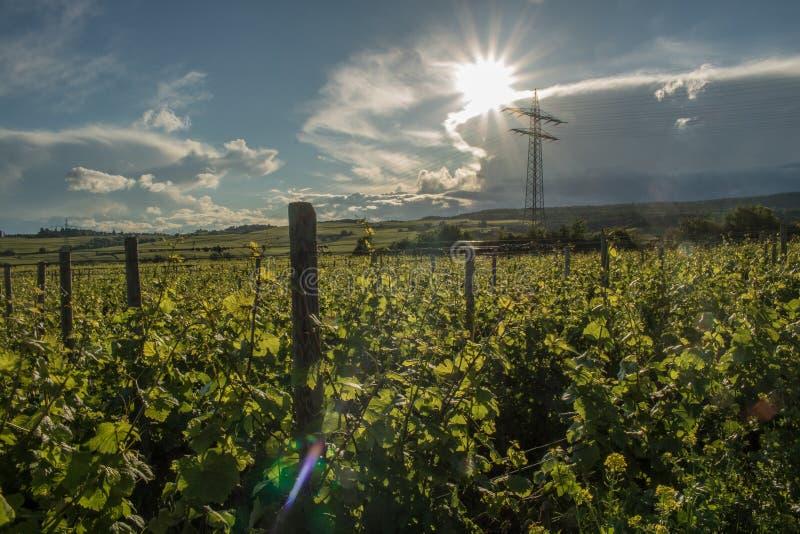 莱茵高地区葡萄园 免版税图库摄影