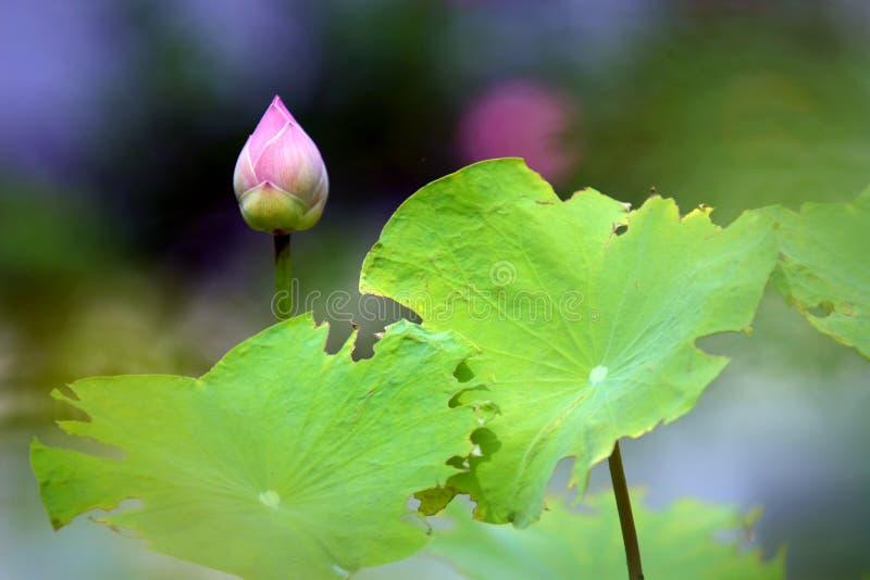 莲属nucifera的芽。 库存图片