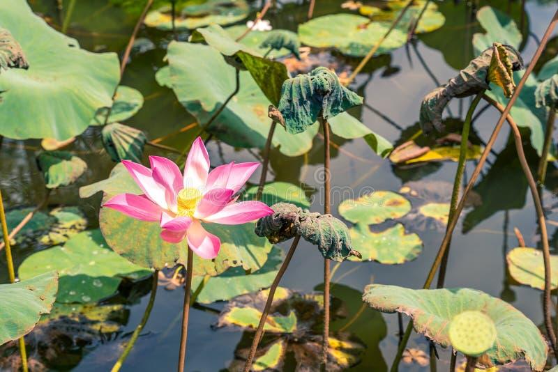 莲属nucifera花,亦称印度莲花,莲,印度,埃及豆或完全莲花豆  免版税图库摄影