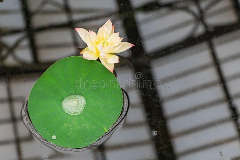 莲属nucifera,亦称印度莲花,莲,印度,埃及豆或完全莲花豆  基奥庭院 免版税库存照片
