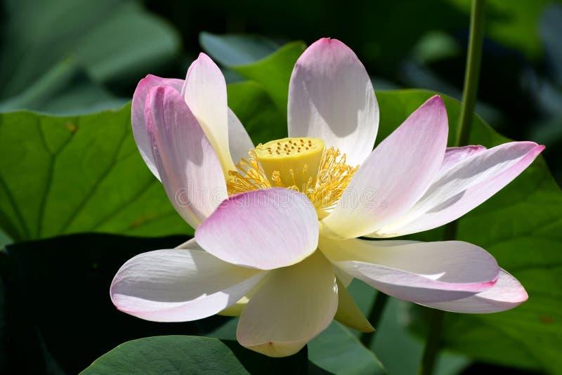 莲属nucifera,印地安莲花绽放关闭 库存照片