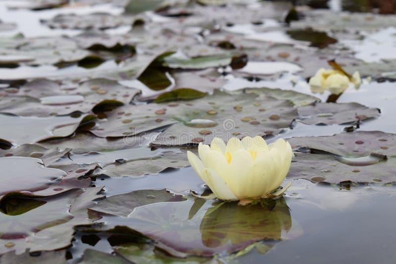 莲的黄色花在池塘发光明亮的光 免版税库存图片