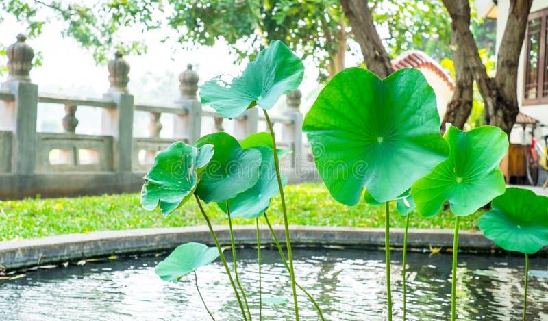 莲花叶子在中国庭院的池塘 免版税库存图片