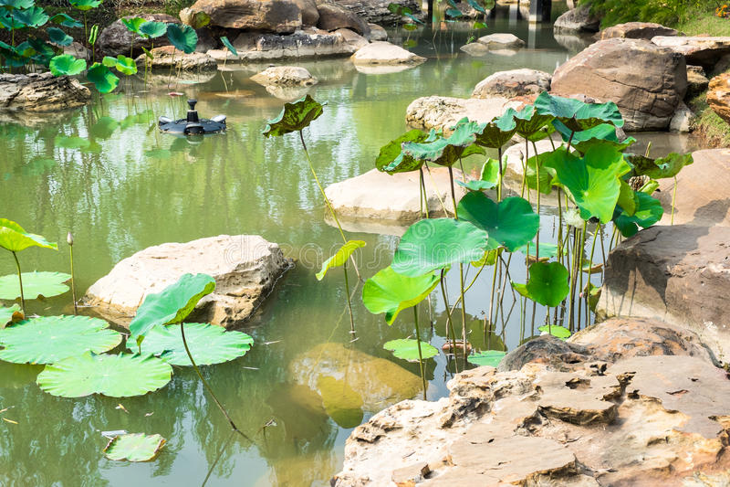 莲花叶子在中国庭院的池塘 免版税库存照片