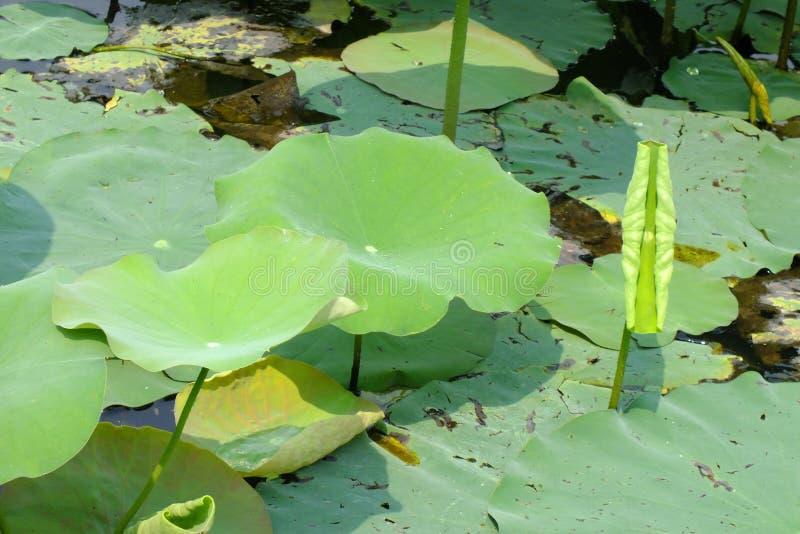 莲花叶子在池塘 免版税库存照片