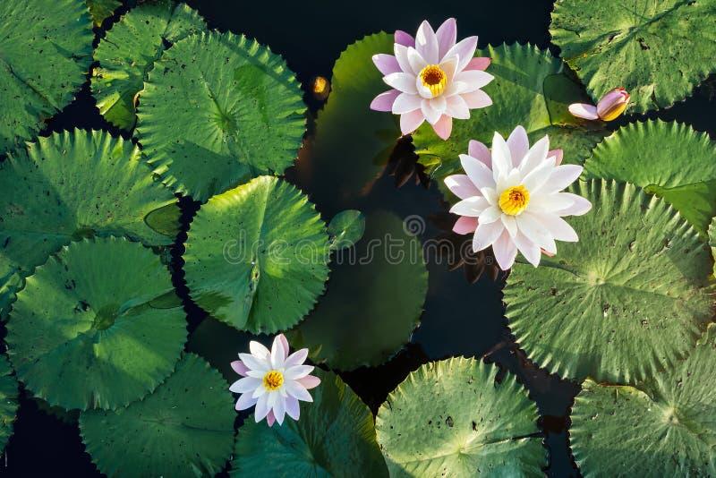 莲花和叶子在池塘浇灌室外表面的顶视图 图库摄影