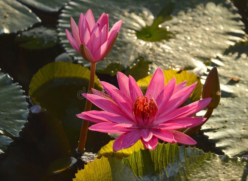莲花和荷花池 荷花池 有很多莲花 库存图片