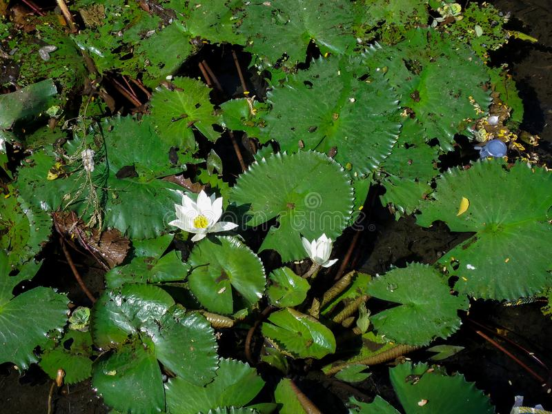 莲花在池塘 免版税库存照片