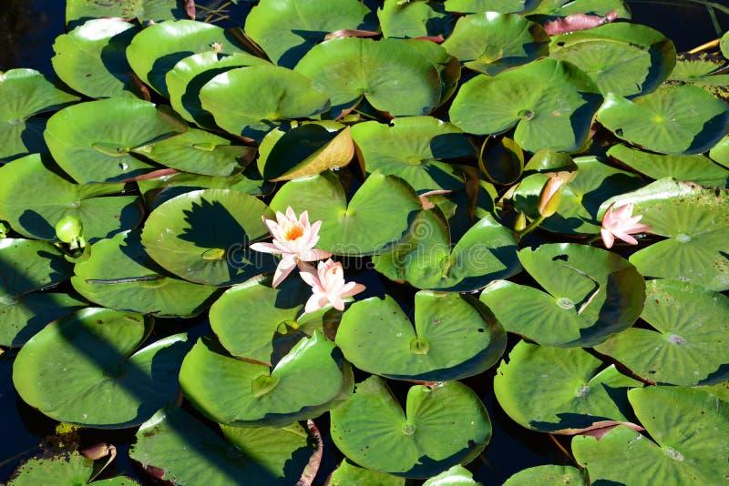 莲花在浮动庭院里 曼村Thauk村庄 Inle湖 缅甸 图库摄影