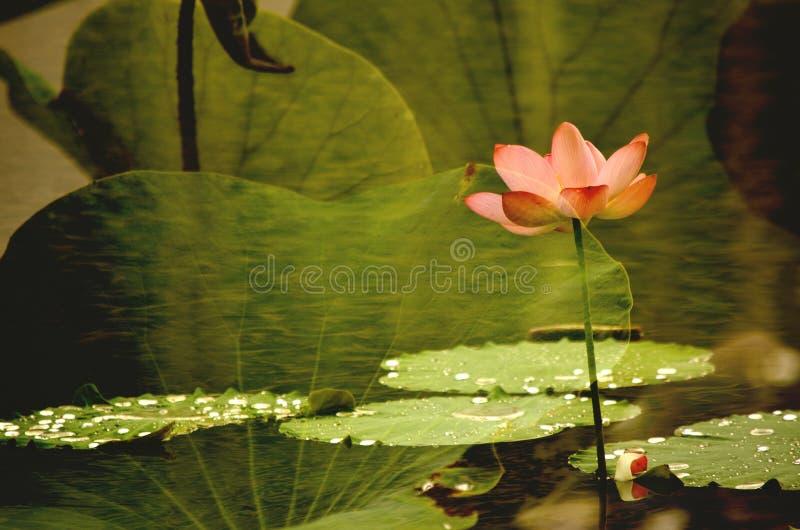 莲花在湖 免版税库存图片