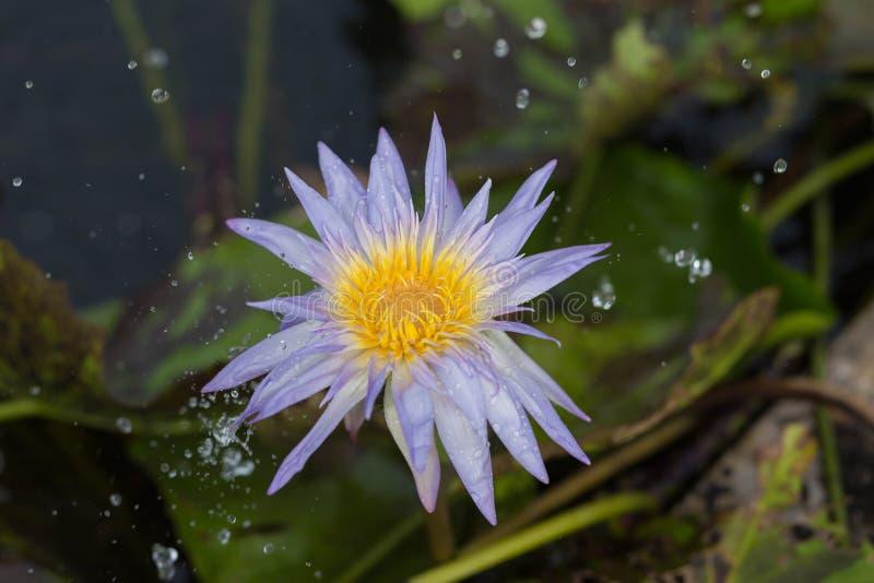 莲花在雨中 免版税库存照片