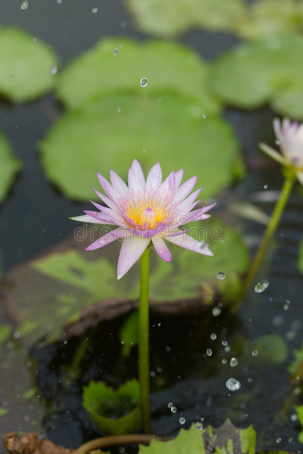莲花在雨中 免版税库存图片
