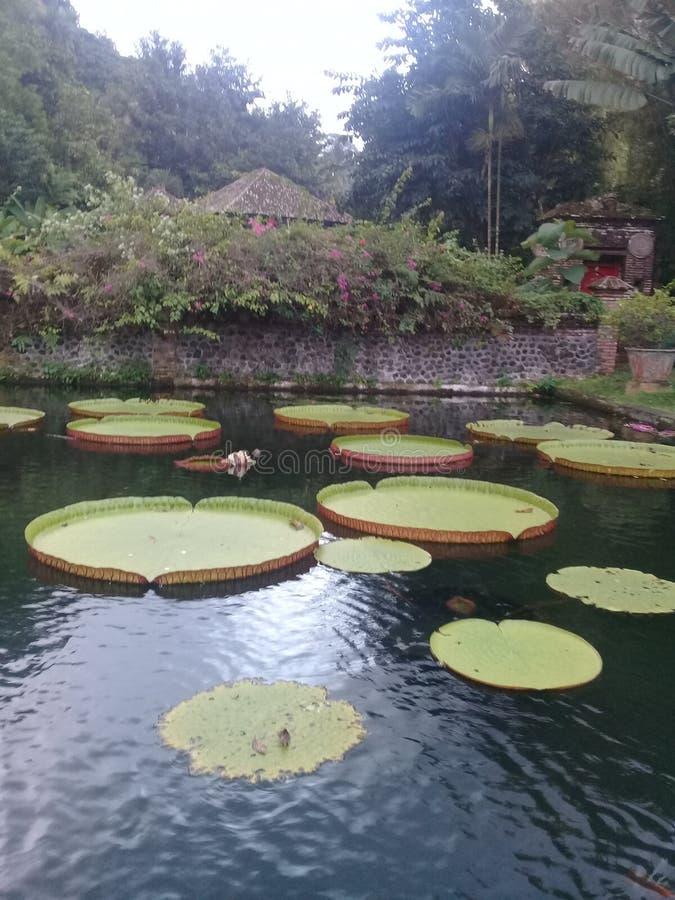 莲花在tirta gangga巴厘岛鱼池 免版税库存图片