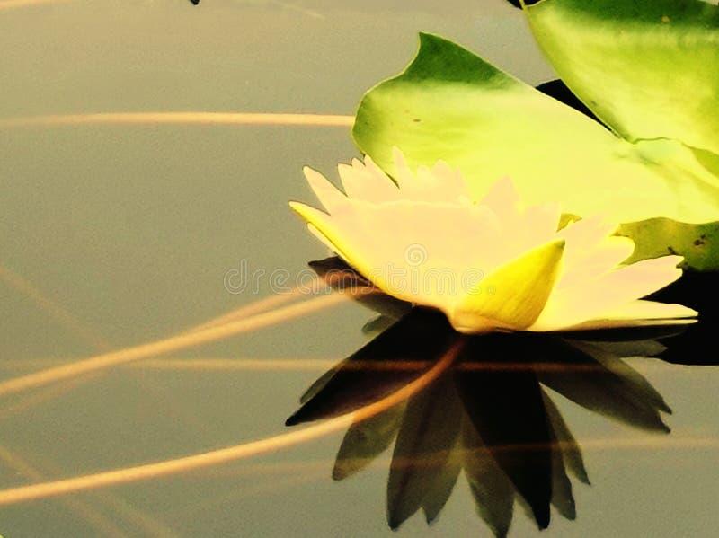 莲花开花在清楚的水中 库存照片