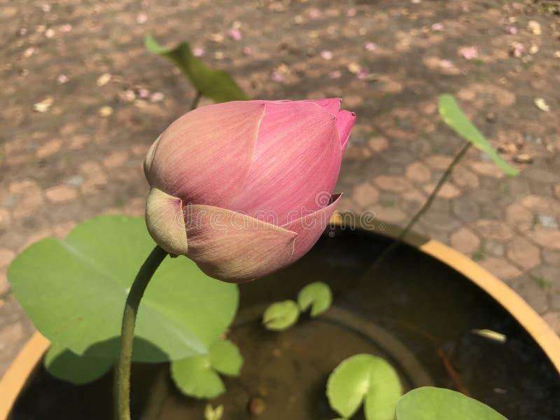 莲花或水lilly五颜六色在水池,它是7月花  库存照片