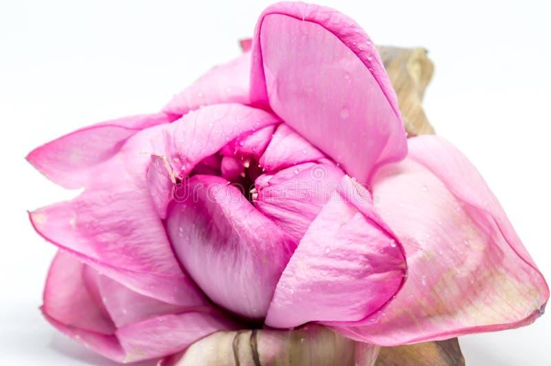莲花或百合花 免版税库存图片