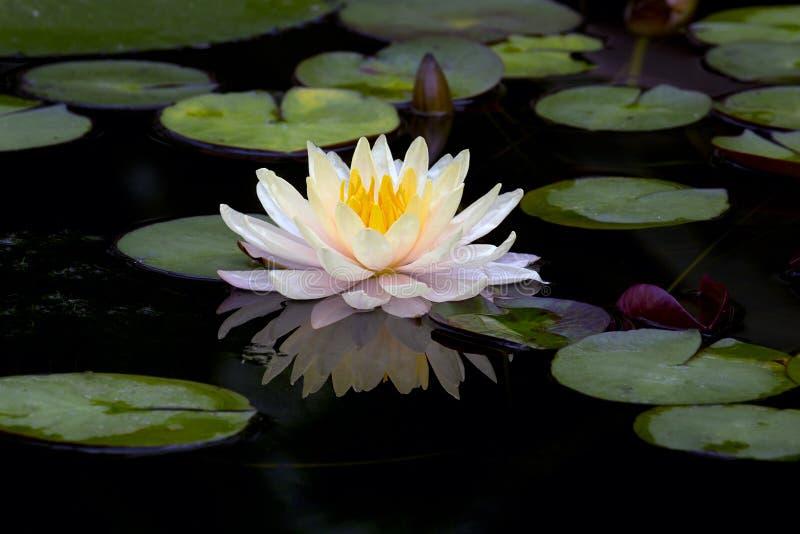 莲花或荷花在池塘开花开花 图库摄影