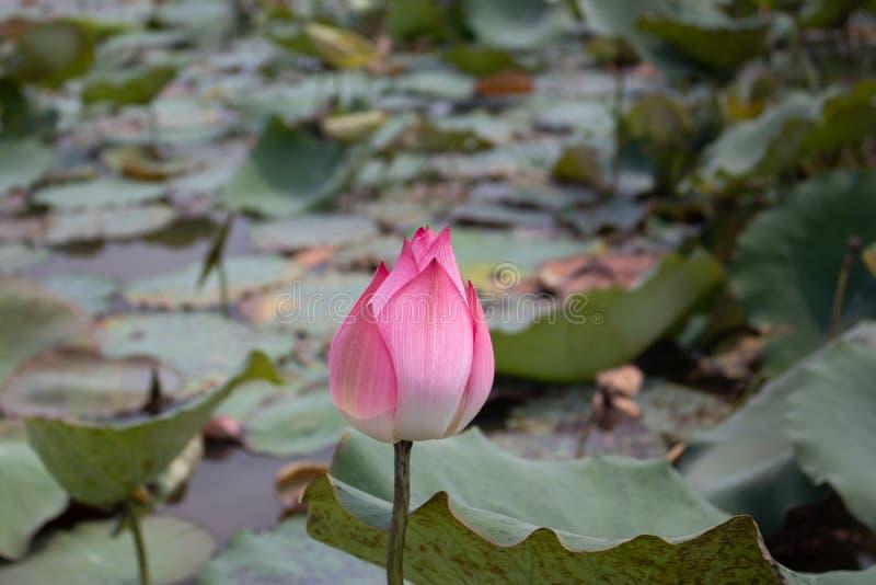 莲花是美丽和有趣观看 免版税库存照片