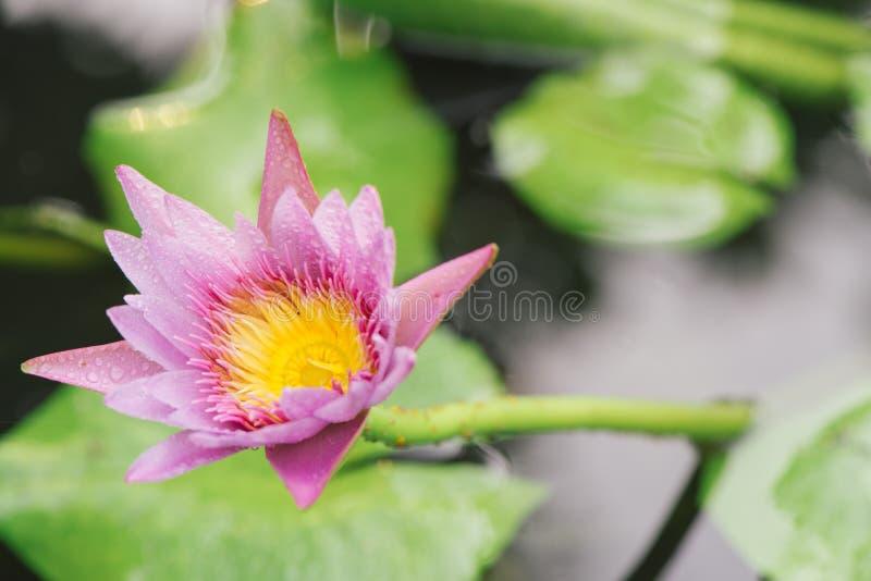 莲花植物 库存照片