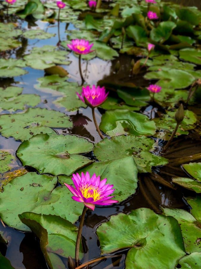 莲花海在池塘的 精神启示,重生和唤醒的概念 库存图片