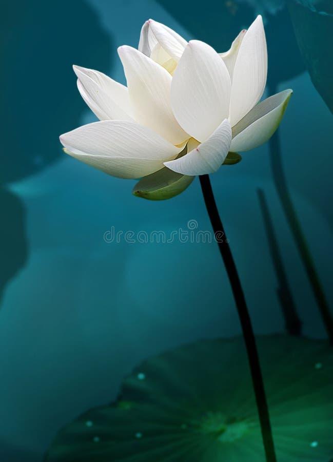 莲花白色颜色新莲花开花或荷花花绽放 库存图片