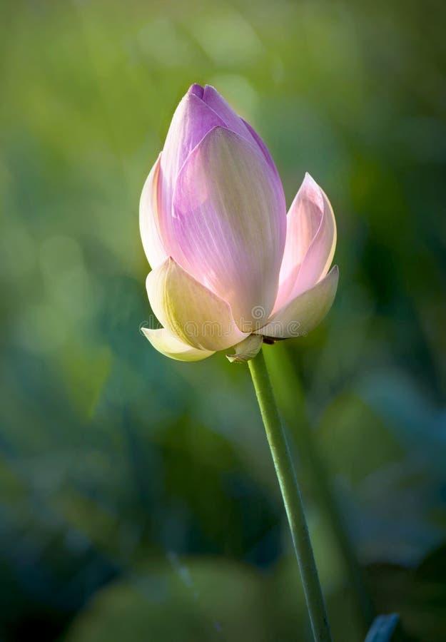 莲花白色,桃红色颜色新鲜的莲花开花或荷花花 免版税库存图片