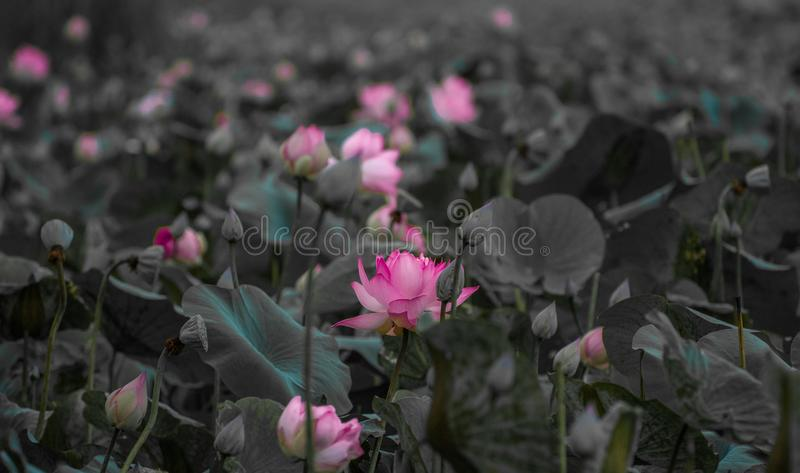 莲花的本色 免版税库存图片