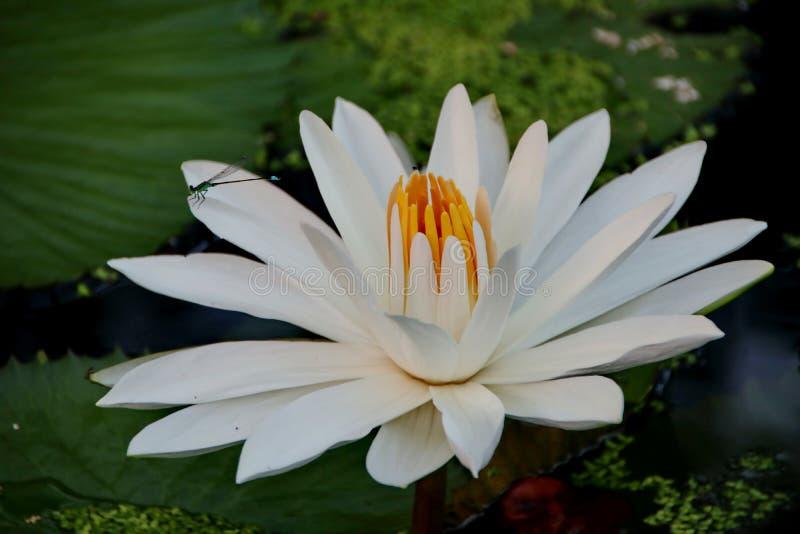 莲花秀丽在一个晴朗的早晨,在水小河在马辰,南加里曼丹印度尼西亚 免版税库存照片