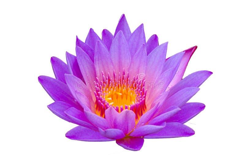 莲花紫色孤立莲花在黄色花粉美妙地开了花 库存图片