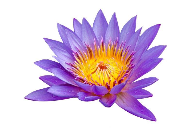 莲花紫色孤立莲花在黄色花粉美妙地开了花 库存照片