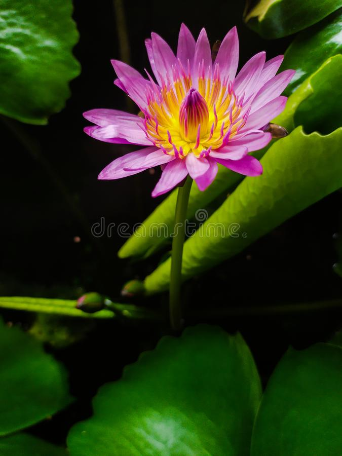 莲花绽放花是新桃红色颜色 免版税库存图片
