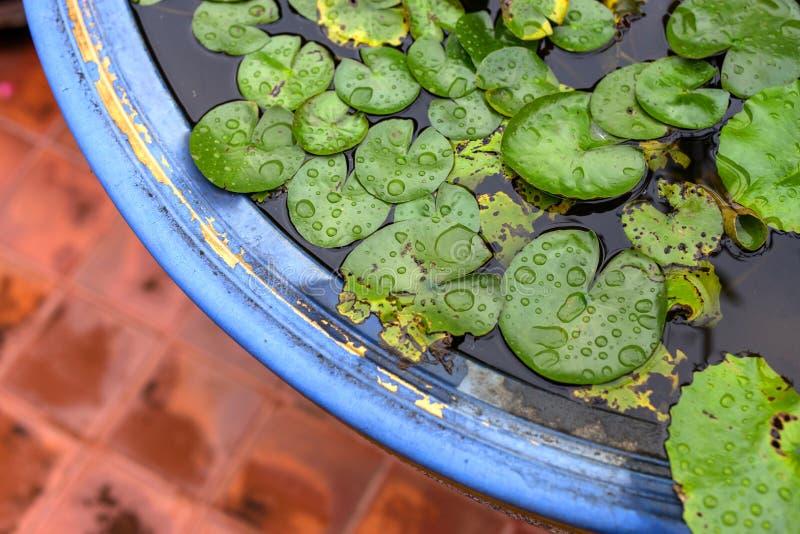 莲花绿色叶子在雨以后是湿的 免版税库存照片