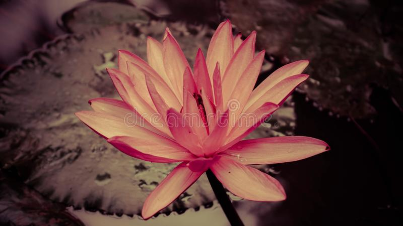 莲花莲花在兰花农场 库存照片