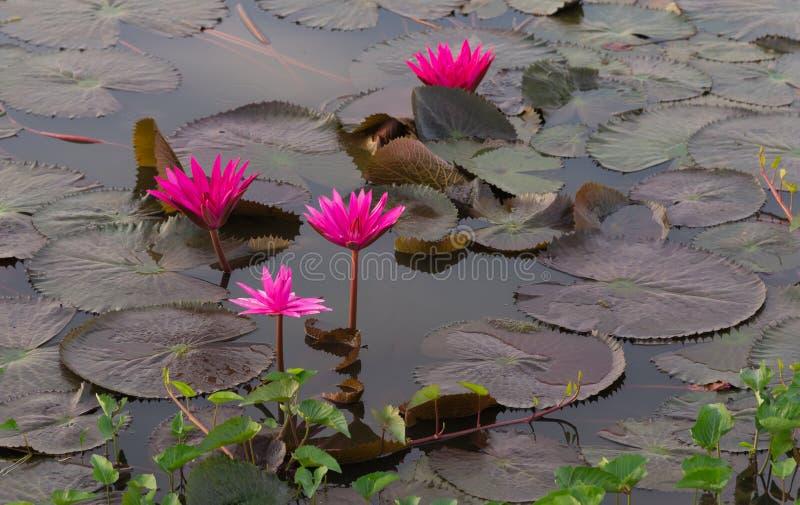 莲花词根水,红色indianwater百合科学名字:星莲属莲花Linn 免版税库存图片