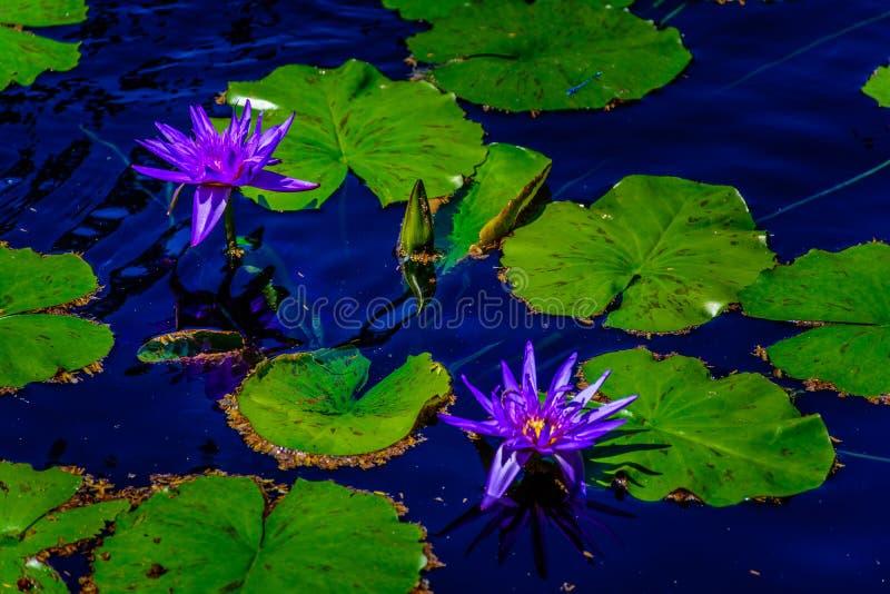 莲花,在安静的池塘的荷花 免版税库存照片