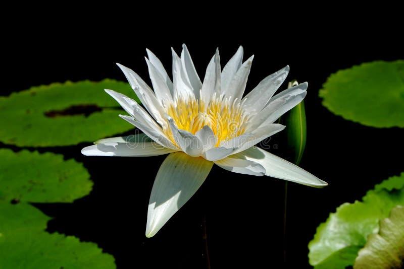 莲花,是在水中增长的花 在一些神话和信仰是神圣的花 免版税库存照片