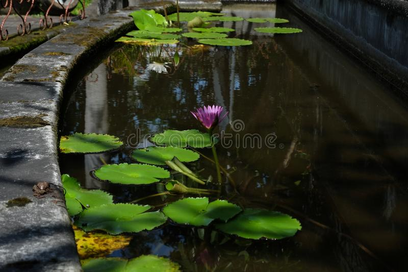 莲花,是在水中增长的花 在一些神话和信仰是神圣的花 库存图片