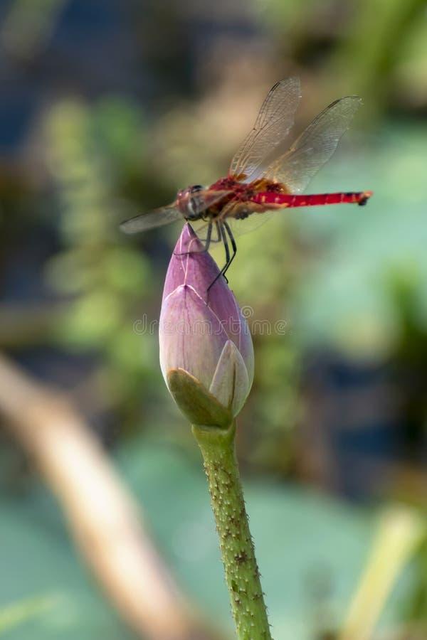 莲花,荷花池在与蜻蜓一起的平安和安静的乡下 免版税库存照片