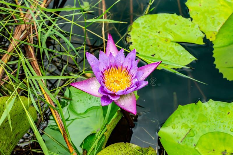 莲花,蓝色,花,水,美丽,百合,自然,绽放,秀丽,植物群,开花,绿色,池塘,黄色,自然,植物,花卉, 库存照片