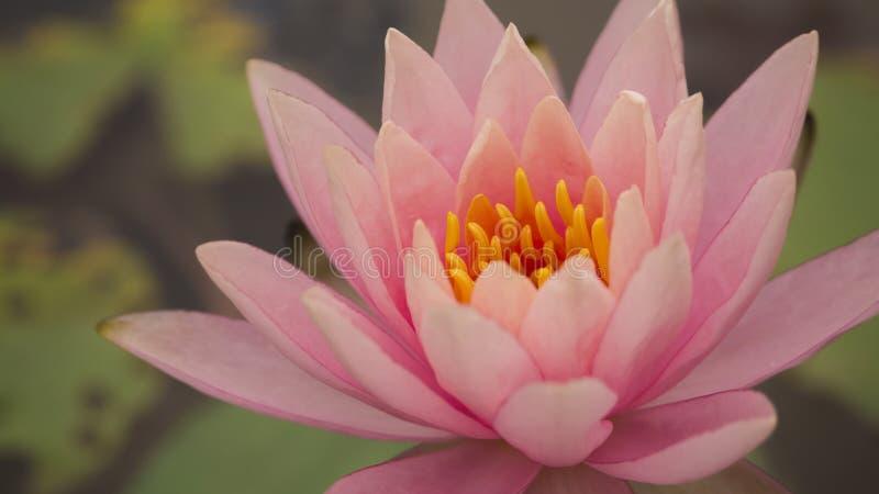 莲花;星莲属rubra; 水中女仙 免版税库存图片