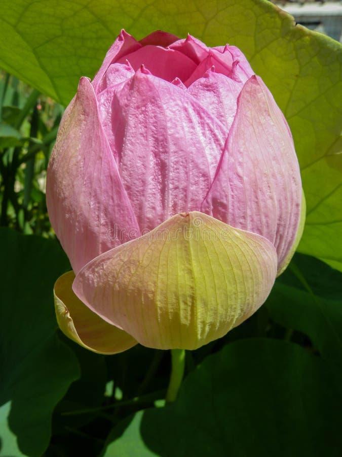 莲花-莲属nucifera的花蕾在植物园里在萨格勒布在克罗地亚 库存照片