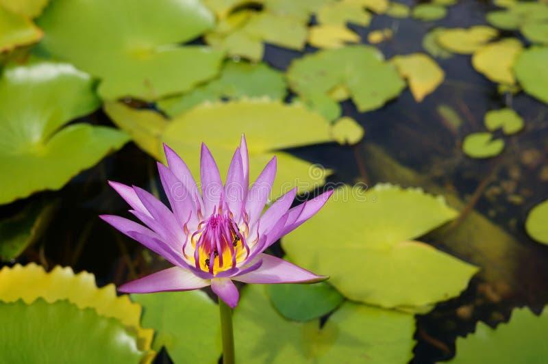莲花-莲属Nucifera -桃红色百合 免版税图库摄影