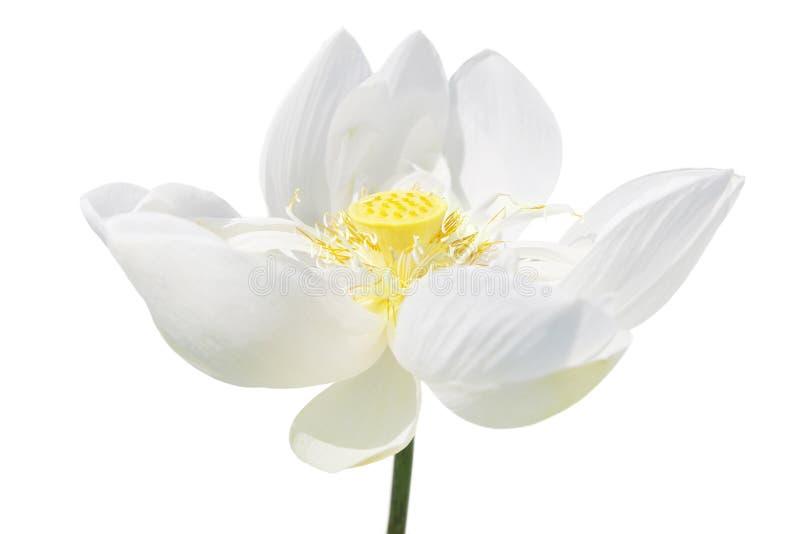 莲花-莲属nucifera 库存图片