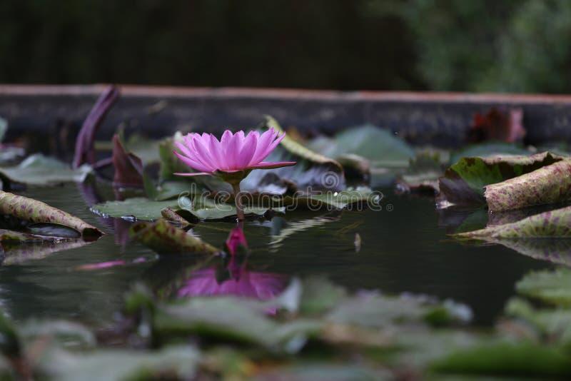 莲花 免版税图库摄影