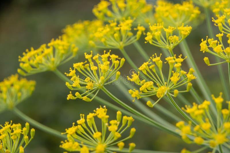 莳萝花关闭  莳萝Anethum graveolens开花  库存图片