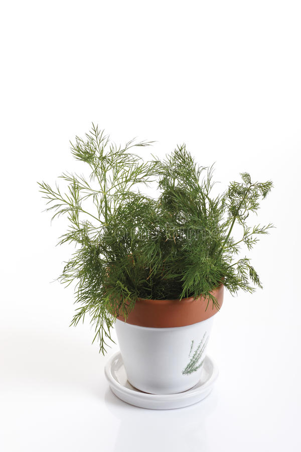 莳萝(Anethum graveolens)在花盆 免版税库存照片