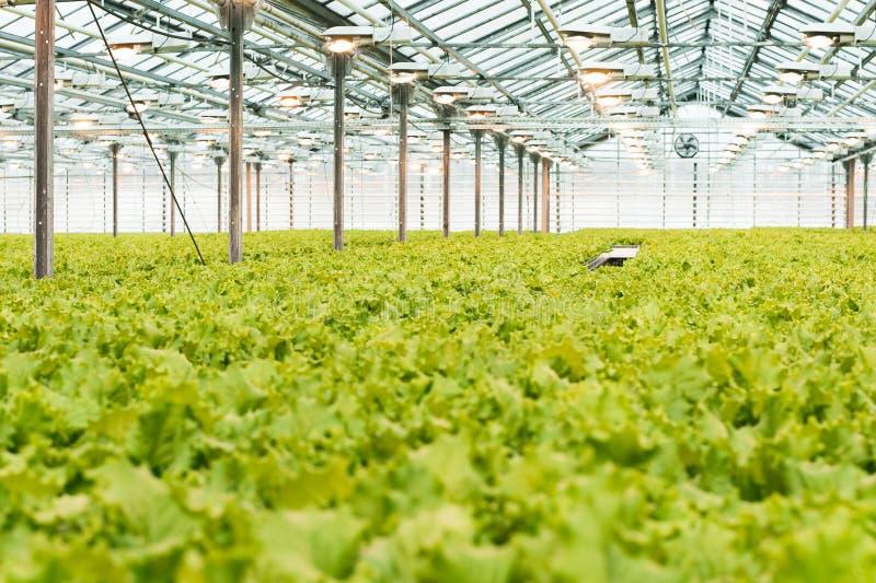 莴苣和绿色的工业生产 闭合的轻的大温室 库存图片