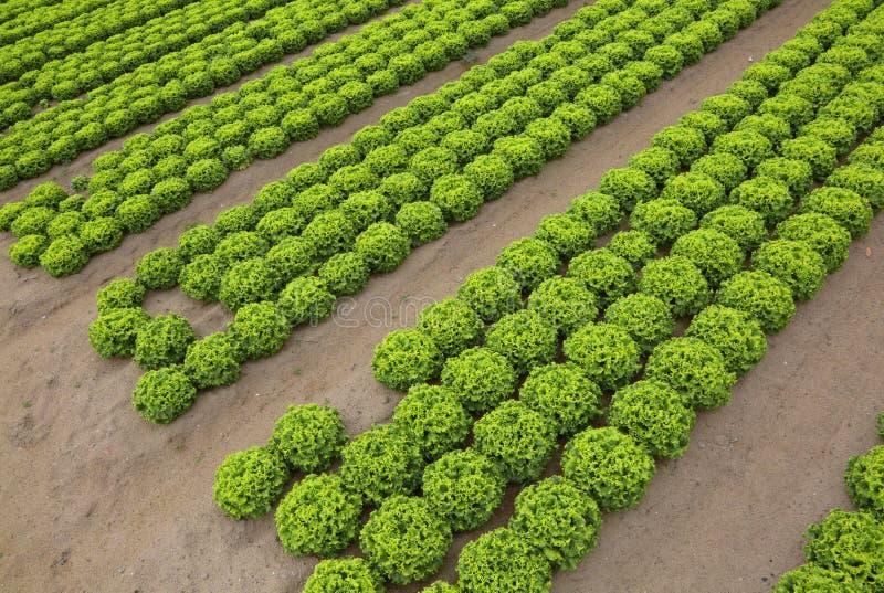 莴苣在领域的培养与含沙土壤对enco 库存照片